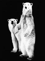 2頭のシロクマ 21075000034  写真素材・ストックフォト・画像・イラスト素材 アマナイメージズ