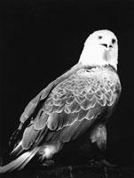 白頭ワシ 21075000055| 写真素材・ストックフォト・画像・イラスト素材|アマナイメージズ
