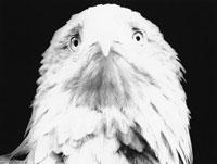 白頭ワシ 21075000056| 写真素材・ストックフォト・画像・イラスト素材|アマナイメージズ