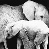 象の親子 21075000063| 写真素材・ストックフォト・画像・イラスト素材|アマナイメージズ