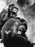 3頭のチンパンジー