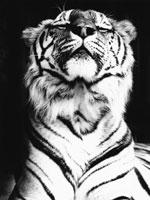 トラ 21075000083  写真素材・ストックフォト・画像・イラスト素材 アマナイメージズ