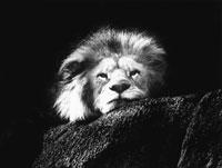 ライオン 21075000084| 写真素材・ストックフォト・画像・イラスト素材|アマナイメージズ