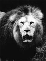 ライオン 21075000085| 写真素材・ストックフォト・画像・イラスト素材|アマナイメージズ