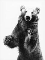 クマ 21075000087| 写真素材・ストックフォト・画像・イラスト素材|アマナイメージズ