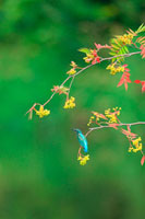 紅葉の枝にとまるカワセミ