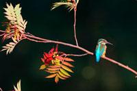 紅葉の枝にとまるカワセミ 21083000280| 写真素材・ストックフォト・画像・イラスト素材|アマナイメージズ