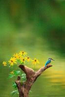 水辺の木にとまるカワセミ