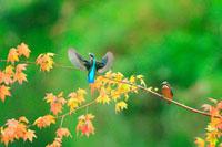 紅葉の枝にとまるカワセミ 21083000287| 写真素材・ストックフォト・画像・イラスト素材|アマナイメージズ