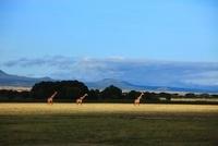 キリン アンボセリ国立公園 21083001977| 写真素材・ストックフォト・画像・イラスト素材|アマナイメージズ