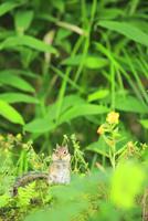 エゾシマリス 21083017972| 写真素材・ストックフォト・画像・イラスト素材|アマナイメージズ
