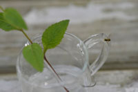 ガラスの入れ物に入ったミントとハチ