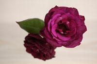 赤いバラ 21090000279| 写真素材・ストックフォト・画像・イラスト素材|アマナイメージズ