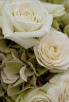 バラ 21090000906| 写真素材・ストックフォト・画像・イラスト素材|アマナイメージズ