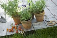ラベンダーとトマト 21090001334| 写真素材・ストックフォト・画像・イラスト素材|アマナイメージズ