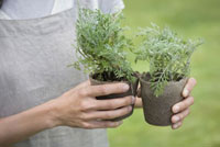 ラベンダーの苗を持つ女性の手元