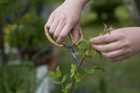 枝を切る女性の手元