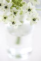 花(オーニソガラム)