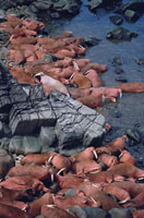 Male walrus at a haul out on Round Island. Alaska,U.S.A.
