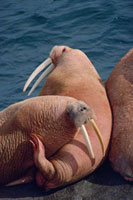 Walruses lie on beach at summer haul out. Round Island,Ala
