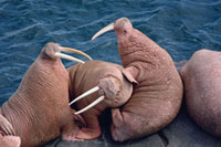 Male Walrus in a dispute at a haul out on Round Island. Alas