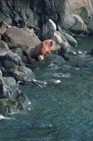 Male Walrus on Round Island,Alaska,U.S.A.