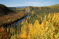 Autumn colour as birch and Aspen turn yellow in Alaska. U.S.