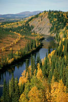 Autumn colour as poplars and Aspen turn yellow in Alaska. U.