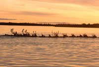 Caribou swimming across the Kobuk River at sunset during the