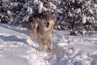Gray Wolves,Canis lupus. Running through deep snow & Spruc