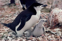 Chinstrap Penquin and chicks on Livingston Island. Antarctic