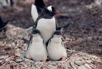 A Gentoo Penquin and chicks. Livingston Island. Antarctica.