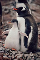 A Gentoo penquin and chick Livingston Island,Antarctica.
