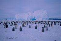 Emperor Penguin colony on the sea ice. Atka Bay. Weddell Sea