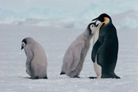 Emperor Penguin chick begs for food from a parent bird while