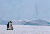 Emperor Penguin & chick at the foot of a cliff of ice. Wedde