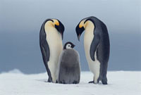 Adult Emperor Penguins bend their heads over a hungry chick