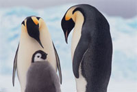 Emperor Penguins bend their heads over their chick on return