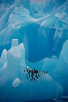 Chinstrap Penguins rest on a blue iceberg of ancient ice scu