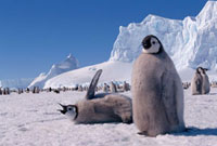 Emperor Penguin chicks,ready to moult wait for a final fee