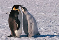 Nearly full grown Emperor Penguin chick begs for food from a