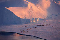 Lines of Emperor Penguins at the ice edge in dawn light. Flu