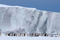 Skua flies over Emperor Penguins & chicks by the ice cliffs.