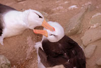 Black-browed Albatross pair preen each other at the start of