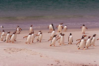 Gentoo Penguins run across the sands as they return from the
