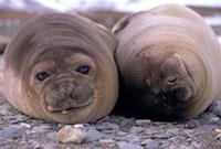 Elephant seal weaners sleep on the beach at Fortuna Bay. Sou