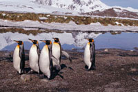 Well fed King Penguins walk ashore in lines to start the mou