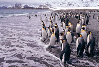 King Penguins loafing on the beach in groups. Salisbury Plai