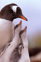 Gentoo Penguin with two chicks begging for food. Prion Islan