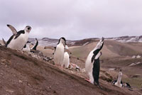 Chinstrap Penguins give an ecstatic display by a nest. Baily
